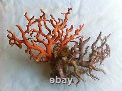 Coral, Sardinian. Ornament. Red. Original. Red. Super Rare. In new mint condition