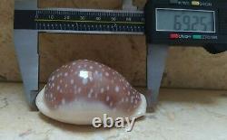 Cypraea camelopardalis 69.2 mm F++++ red sea super natural glossy cypraeindae