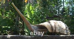 Very rare Shofar Ram Horn Kosher Super Big Natural 63cm XL 24.5